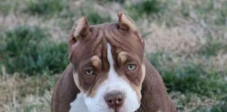 pitbull dog