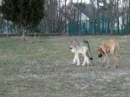 wolf and great dane