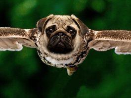 pug flying